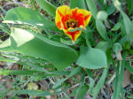 tulip, front garden, home, Falmouth, Virginia, US