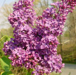 lilacs, home, Falmouth, Virginia, US