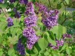 Lilacs, front garden,  Falmouth, VA