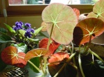 begonias and violets in a sunny window, home, Falmouth, Virginia, US