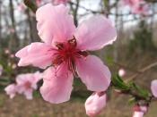 Peach Blossoms, back yard at home, Falmouth, VA
