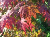 red maple, front garden, at home in falmouth va