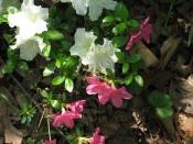 Azaleas back garden, home, Falmouth, VA