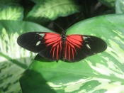 Butterfly at Butterfly Conservatory, Niagara Falls, Canada