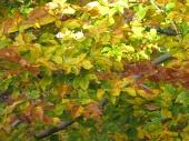 Fall Beech Tree leaves, Home, Falmouth, VA