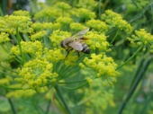 Bee on fennel, Home,  Falmouth VA