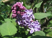 lilacs in the front garden, home, Falmouth, Va