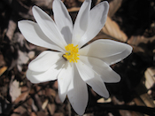 Blood root flowers, garden at home, Falmouth, VA