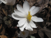 Blood root bloom, home.