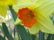 Daffodil, garden at home, Falmouth, VA, Spring 2010