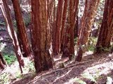 Trees Muir Woods