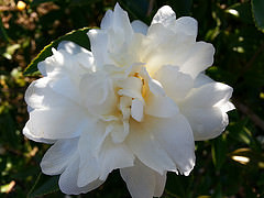 White Camellia  bloom