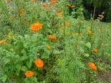 Thyme, front garden, home, Falmouth, VA
