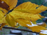 Fall leaves, Beech tree, home, falmouth, va