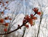 Maple blossoms, back yard,  home, falmouth, va