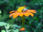 Bee on mexican sunflower, front garden,  Falmouth, VA, USA