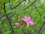 Wild Azalea, Shenandoah National Park, Virginia,  USA
