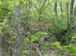 Wild Azalea, Shenandoah National Park, Va