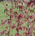 red maple leaves just out, front garden, home, Falmouth, Virginia, US