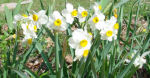 Early Daffodils, front garden, home, Falmouth, Virginia, US